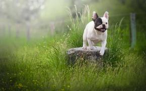 Picture grass, stone, dog, French bulldog