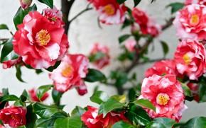 Picture flowers, Bush, spring, flowering, Camellia