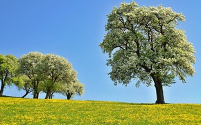 Picture trees, flowers, glade, Nature, spring