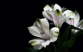 Picture leaves, flowers, Lily, Lily, bouquet, white, black background, Alstroemeria