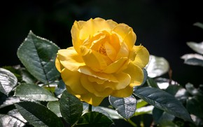 Picture flower, yellow, Rose, flowering