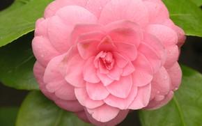 Picture flower, hana, by ho4hoj, camelia, pink camelia