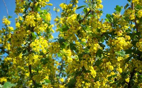 Picture flowers, yellow, black currant, small, flowering shrub, mamala ©