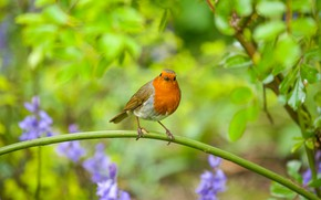 Picture flowers, bird, branch, Robin, Robin