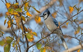 Picture birds, blue Jay, corvids