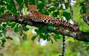 Picture stay, foliage, branch, jungle, leopard, bokeh
