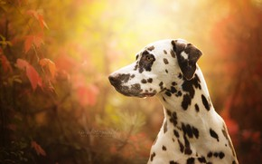 Picture face, portrait, dog, profile, bokeh, Dalmatian