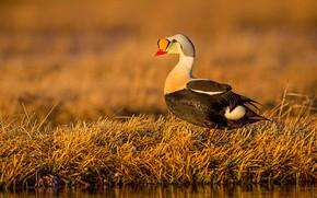 Picture grass, beak, duck, Gaga-grabowska
