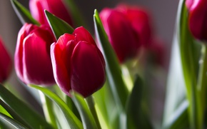 Picture buds, tulips, red