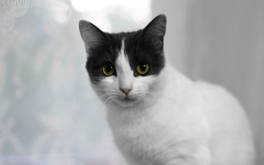 Picture cat, look, kitty, Kote, kitty, white-gray, purebred cat, white-grey cat, room.