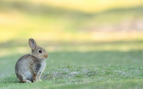 Picture nature, background, Bunny