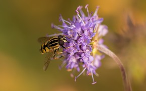 Wallpaper flower, insect, bokeh, gorzalka