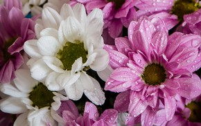 Picture drops, flowering, chrysanthemum, a lot
