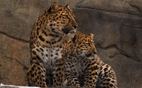 Picture predators, family, pair, wild cats, zoo, leopards, Amur, mother and cub