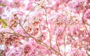 Picture branches, spring, flowering, pink, blossom, spring, bloom