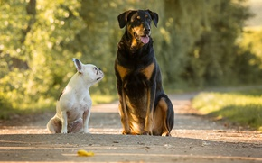 Picture road, dogs, French bulldog, two dogs, large and small