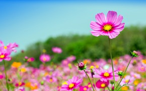 Wallpaper cosmos, pink, the sky, the sun, summer, summer, field, field, pink, flowers, flowers