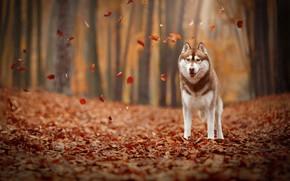 Wallpaper autumn, leaves, foliage, dog, Husky