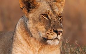 Wallpaper face, grass, lioness, close-up, background, predator, bokeh