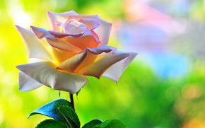 Picture flower, macro, background, rose