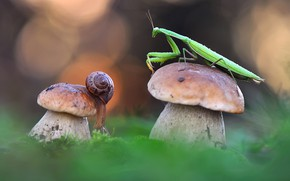 Picture mushrooms, snail, mantis, Borovik