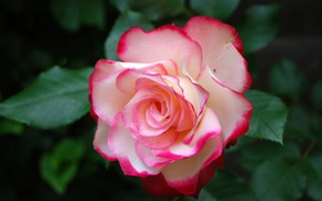 Wallpaper macro, rose, petals, Bud