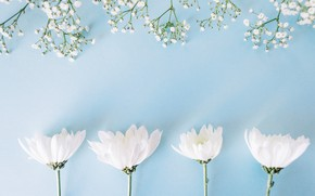 Picture flowers, flowers, spring, background, chrysanthemum, tender, white, white