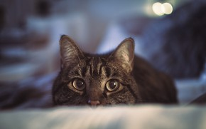 Picture cat, look, muzzle, bokeh