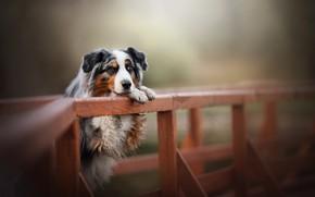Picture bridge, dog, bokeh, Australian shepherd, Aussie