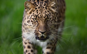 Wallpaper wild cat, face, background, mustache, look, Leopard
