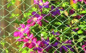 Picture flowers, mesh, clematis, spring 2018, Meduzanol ©