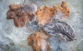 Picture cold, leaves, ice