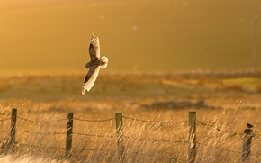 Picture bird, fence, owl, countryside, sunny, hunting
