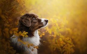 Picture autumn, face, branches, portrait, dog, profile, Australian shepherd, Aussie