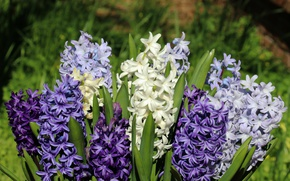 Picture bouquet, hyacinths, macro