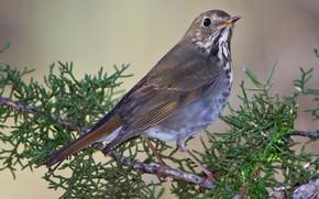 Picture bird, branch, beak, tail, hermit thrush