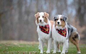 Picture dogs, pair, Australian shepherd, Aussie
