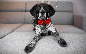 Picture look, room, sofa, holiday, new year, dog, paws, lights, lies, grey background, bow, dog, bow …