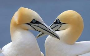 Picture birds, pair, gannets
