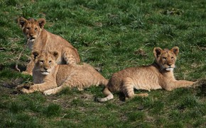 Picture Nature, Weed, Kids, Lion cub