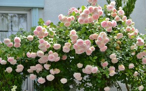 Picture roses, buds, flowering, the bushes, a lot, rose bushes