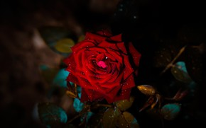 Picture flower, leaves, drops, darkness, the dark background, rose, branch, petals, Bud, red, scarlet