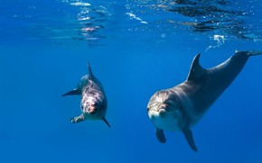 Picture sea, blue, pair, dolphins, under water