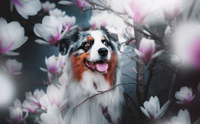 Picture branches, dog, flowers, Magnolia, Australian shepherd, Aussie