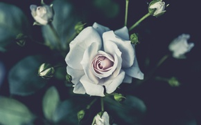 Picture white, flower, rose, buds