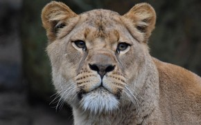 Picture Cat, Lioness, Face