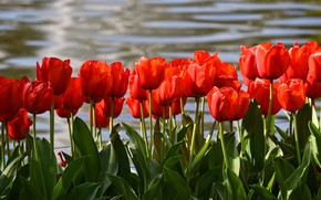 Picture leaves, water, flowers, shore, bright, positive, spring, tulips, red, buds, flowerbed, al, pond