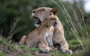 Picture cub, kitty, lions, lioness, lion