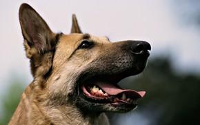 Picture dogs, shepherd, my friend