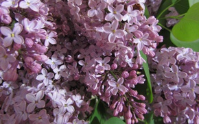 Picture branch, lilac, blooming